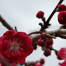 Spring Blossom by Alison Howson