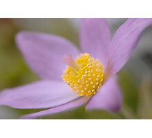 Pulsatilla softness Photographic Print