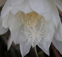 Queen of the Night by toots