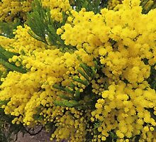 Golden Wattle - Floral Emblem of Australia by Marilyn Harris