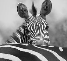 Zebra in Black and White by Carole-Anne