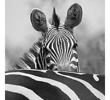 Zebra in Black and White Photographic Print
