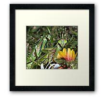Mating Mantises ! Framed Print
