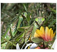 Mating Mantises ! Poster