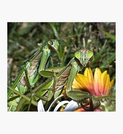Mating Mantises ! Photographic Print