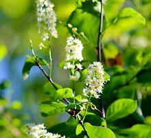 Chokecherry Blossoms by Kathleen Daley