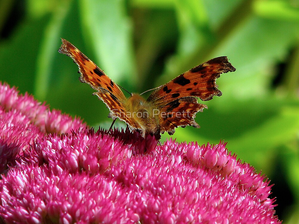 A Comma Butterfly by Sharon Perrett