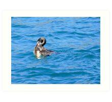 An Opportunity - Shag & Blue Cod - NZ Art Print