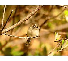 A Little Poser - Grey Warbler NZ Photographic Print