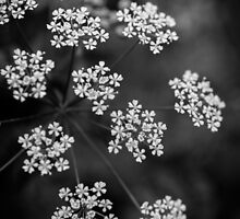 Queen Anne's Lace - Black and White by Michelle McConnell