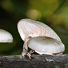 Porcelan Mushroom (Oudemansiella Mucida) by ©FoxfireGallery / FloorOne Photography
