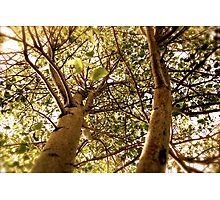 Linden Tree Photographic Print