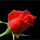 Red Rose by MDossat