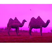 Newport Camels Photographic Print