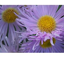 Aster Bunch Photographic Print