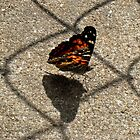American Beauty Butterfly by Donna R. Carter