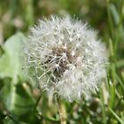 Dandelion Puff by Donna R. Carter