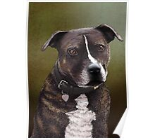 Stafforshire bull terrier 1 Poster
