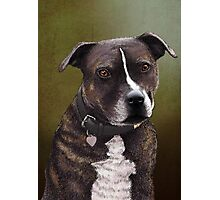 Stafforshire bull terrier 1 Photographic Print