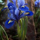 The little iris by Nikki Collier