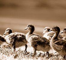 Ducklings by HowieP