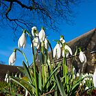 Snowdrops in the English church by Robert Gipson