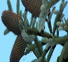 Pinecones by Jonice