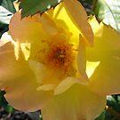 Morden Sunrise Rose by Diane Petker