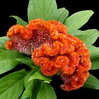 Cock's Comb (Celosia) by Magee