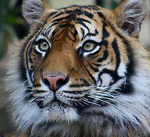 Siberian Tiger by Steve Bullock
