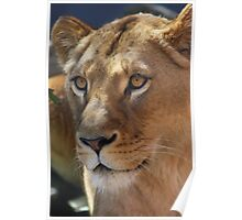 Lioness stare Poster