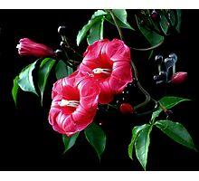 The Cardinal............(Ipomoea horsfalliae) Photographic Print
