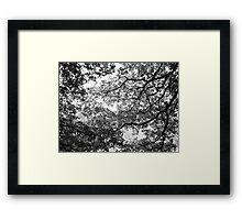 Oak curtain Framed Print