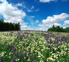 Lupin Meadow by Martins Blumbergs