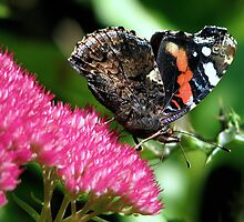 A Red Admiral by Sharon Perrett