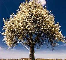 Bright blossoming tree in spring. by peterwey