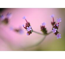Verbena in Violet Photographic Print