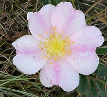 Wild prarie rose by pamela11