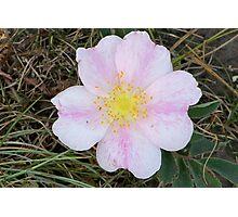 Wild prarie rose Photographic Print