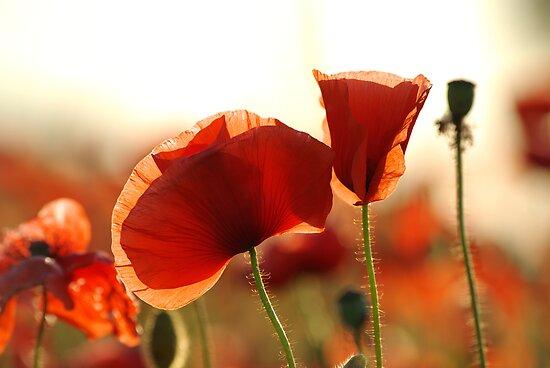 Poppy Petals by Martins Blumbergs