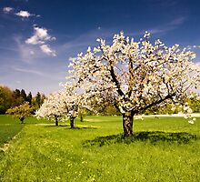 Blossoming trees in spring by peterwey