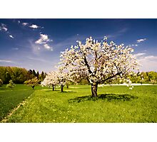Blossoming trees in spring Photographic Print