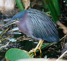 Green Heron by Dennis Cheeseman