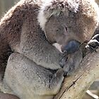 Peaceful Koala Sleeping by Clinton Plowman