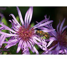 Green Metallic Bee* Photographic Print