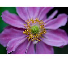 Japanese Anemone Photographic Print