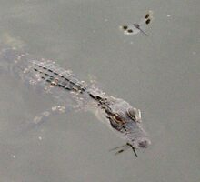 Dragonfly Reflected on Gator by nauticalelf