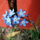 Forgetmenots by Danielle Morin