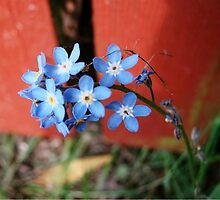 Forgetmenots by Danielle LaBerge