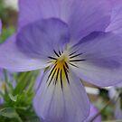 Purple Pansy by Diane Petker